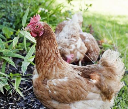 hens in the garden Stock Photo - 14961295