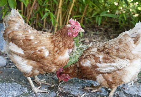 hens Stock Photo - 14961294