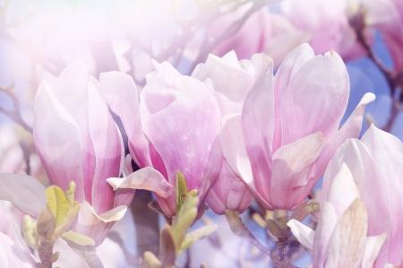 pink magnolia photo
