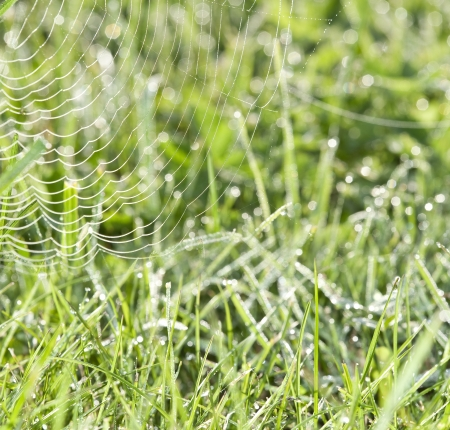 spider net: dewy grass and dewy spider net Stock Photo