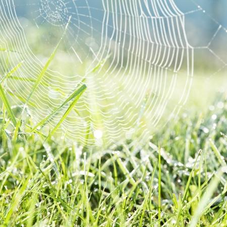 spider net: dewy grass and dewy spider net - mornig meadow - background
