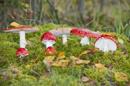 fly agaric toadstools in a autumn forest Stock Photo