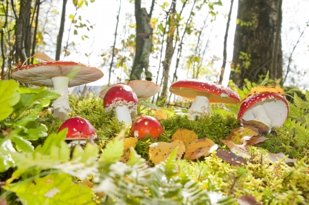 fairy toadstool: fly agaric mushrooms in a forest