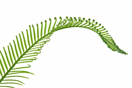 young green palm leaf isolated on white background photo