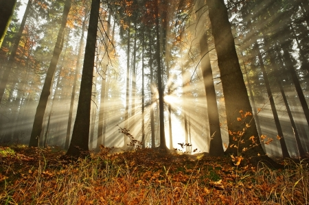 national forest: sun beams in an autumn morning forest