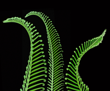 young spring palm leaves on a black background photo