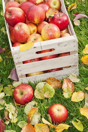 apples in wooden box in the autumnal garden  photo