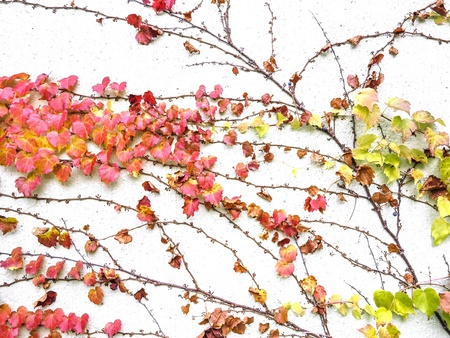 climbing plant: autumnal branch on a wall