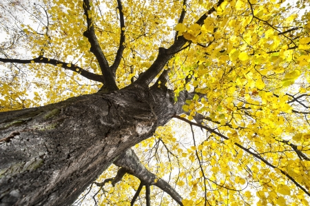 big tree: a big autumnal tree with yellow leaves Stock Photo