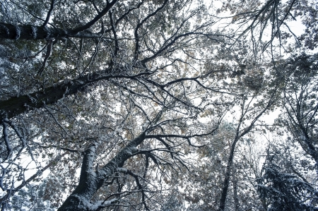 flurry: trees with snow