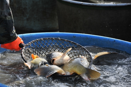 big carps in a landing net - autumnal harvesting a pond photo