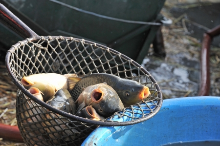 big carps in a landing net - close up photo