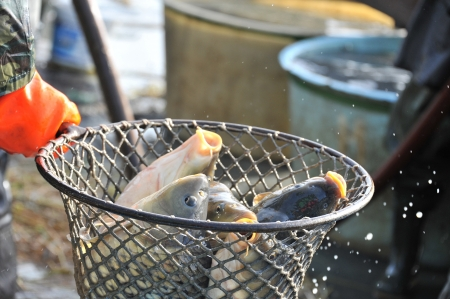 carps in a landing net - close up photo