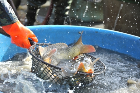 carps in a landing net - harvesting a pond