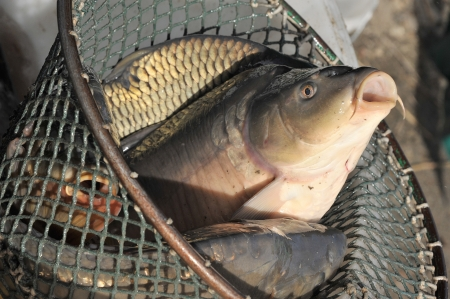 carps in a net photo