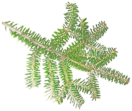 fir twig: fir twig on a white background
