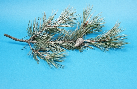 pine twig with snow photo