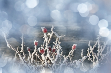 frozen rose hips photo