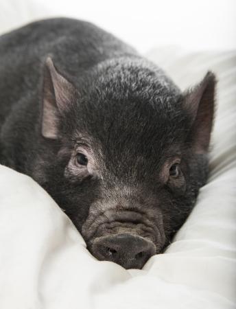 a little black pig lie on a pillow Stock Photo - 16756262