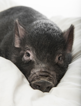 a little black pig lie on a pillow Stock Photo - 16756262