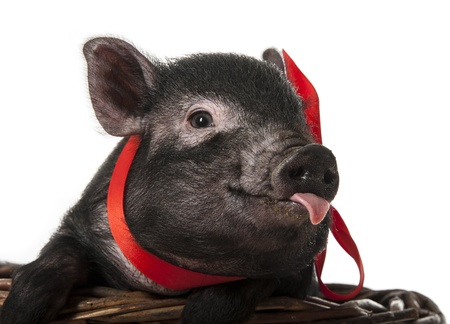 cute pig: a cute little black pig sitting in a basket Stock Photo