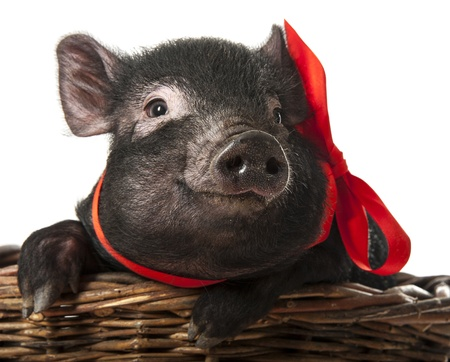 a cute little black pig sitting in a basket - white background Stock Photo