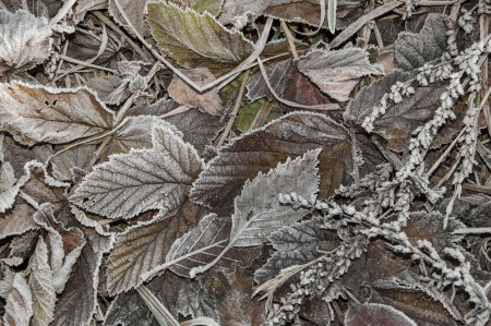 leaves covered with ice crystals - winter background photo