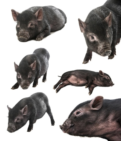 collection of a black farm pig photo