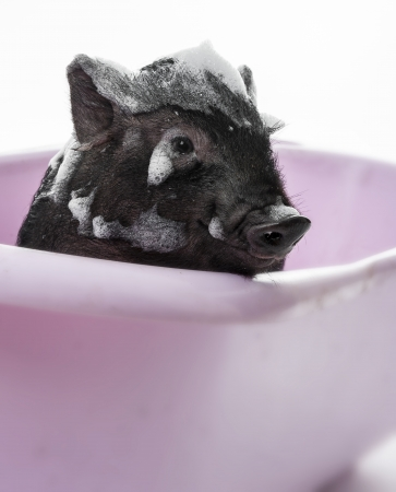 godliness: a cute little piggy having bath - cleanliness is next to godliness Stock Photo