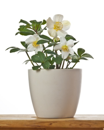 Helleborus - spring flowers in a flower pot isolated