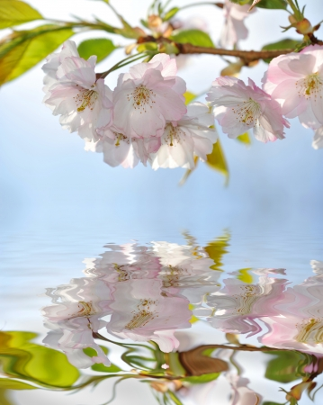mirroring: sakura mirroring in water