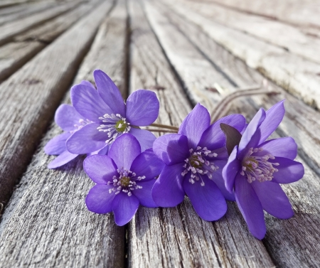 liverwort flowers on wooden table  photo