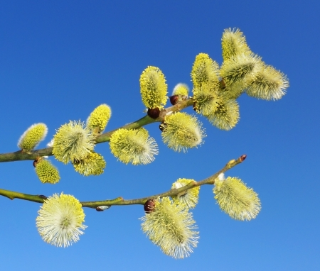catkins: branch of willow with catkins and sky