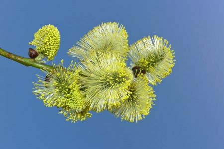 catkins: one branch of willow with catkins and blue sky  Stock Photo