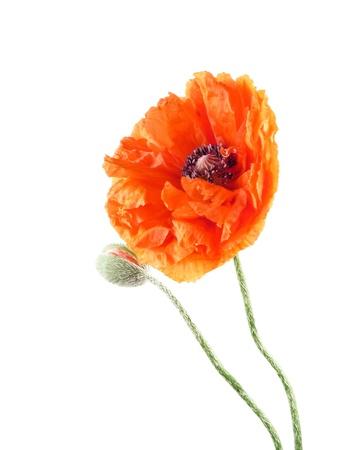 poppy photo