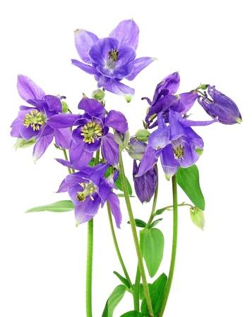 aquilegia: blue columbine - aquilegia flowers