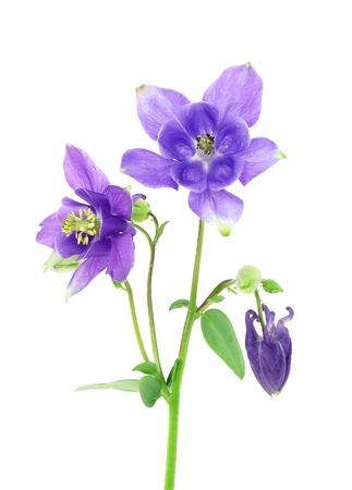 aquilegia: blue columbine - aquilegia flowers isolated