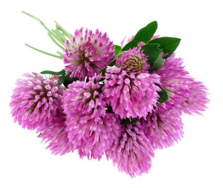trefoil: pink clover flowers trefoil isolated on white
