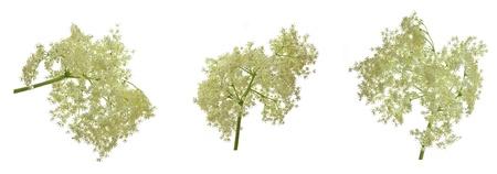 elder tree: European black elder healthy herb flowers Stock Photo