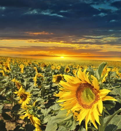 sunset with field: sunflowers field