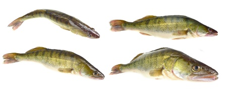 pikeperch Stock Photo - 17246155