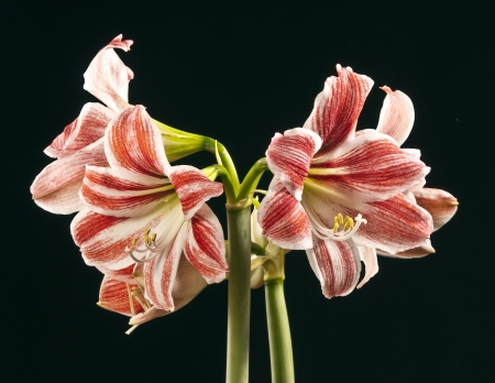 amaryllis - lilly on black background photo