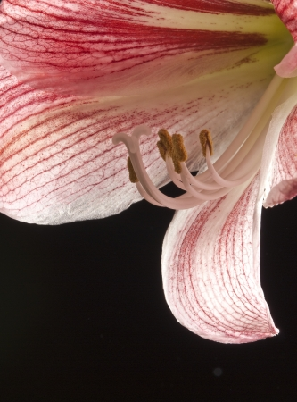 amaryllis - lilly in detail photo