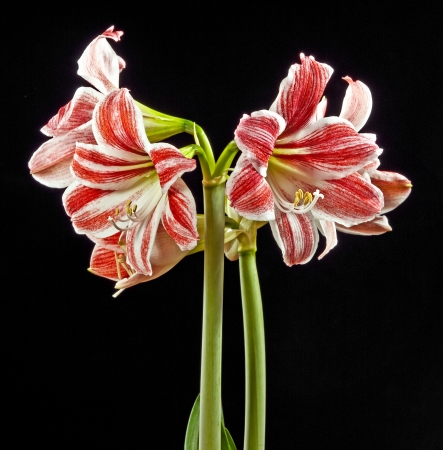 amaryllis photo