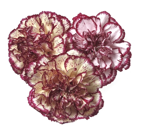 gilliflower: three carnations