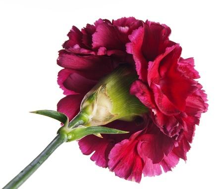 red carnation flower photo