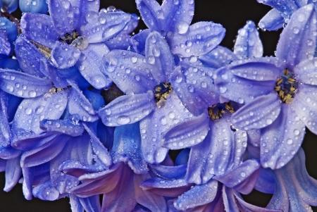 dewy: dewy hyacinth in detail Stock Photo