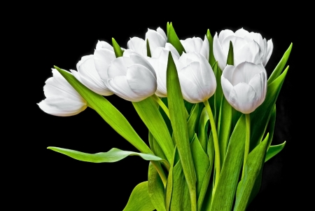 white tulips on a black background photo