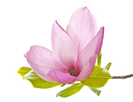 pink magnolia flower isolated on white