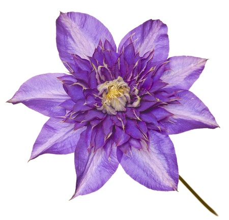 blue clematis photo